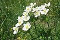 Anemone narcissiflora (48349741317).jpg