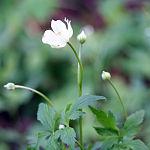 Anemone virginiana 2818.jpg
