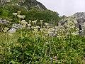 Angelica oreadum (Diels) M.Hiroe (7813197174).jpg