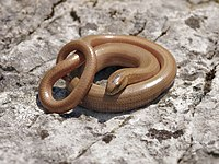 Anguis fragilis (curled up).jpg