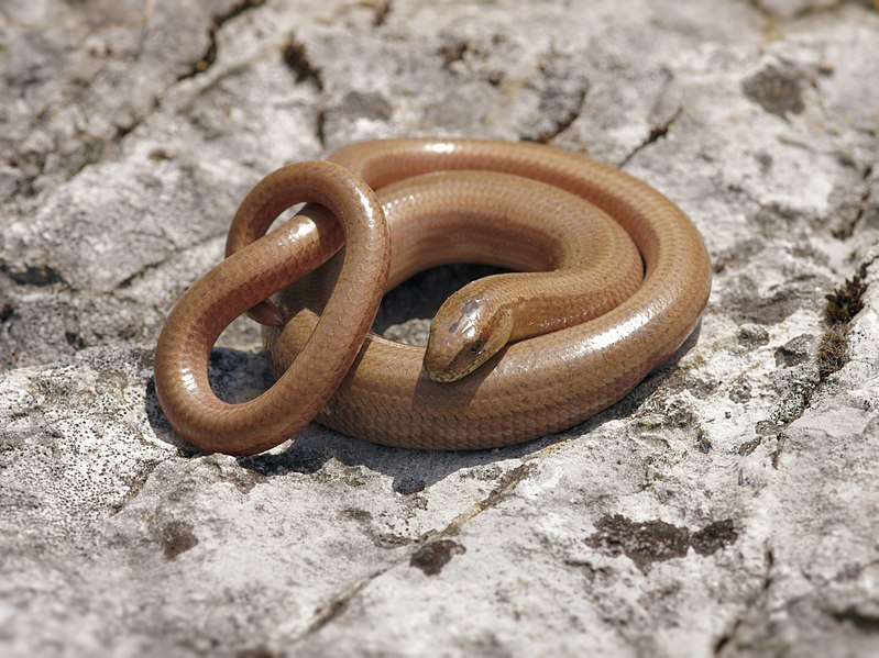 http://upload.wikimedia.org/wikipedia/commons/thumb/f/f5/Anguis_fragilis_%28curled_up%29.jpg/799px-Anguis_fragilis_%28curled_up%29.jpg