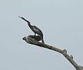 Anhinga anhinga leucogaster, male. (9011741797).jpg