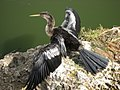 Anhinga on Anhinga Trail - panoramio.jpg