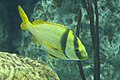 Anisotremus virginicus, Baltimore Aquarium.jpg