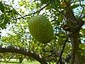 Annona glabra 05 - Fruit.jpg