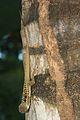 Anolis oculatus at Batalie-2011 10 30 0134.jpg