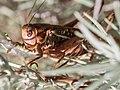 Another Grasshopper (120231817).jpeg