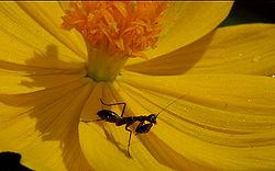 definition of mantis