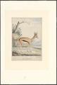 Antidorcas marsupialis - 1780-1830 - Print - Iconographia Zoologica - Special Collections University of Amsterdam - UBA01 IZA1000684.tif