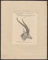 Antilope grantii - kop - 1879 - Print - Iconographia Zoologica - Special Collections University of Amsterdam - UBA01 IZ21400045.tif
