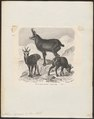 Antilope rupicapra - 1700-1880 - Print - Iconographia Zoologica - Special Collections University of Amsterdam - UBA01 IZ21400205.tif