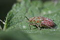 Aphid laying eggsOR ? (9065825055).jpg