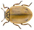 Aphidecta obliterata (Linné, 1758) (30540333122).png