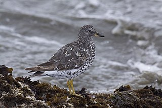 Surfbird Species of bird