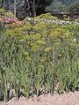 Apiales - Anethum graveolens - 1.jpg