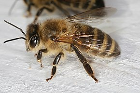 Description de l'image  Apis mellifera carnica worker hive entrance 2.jpg.