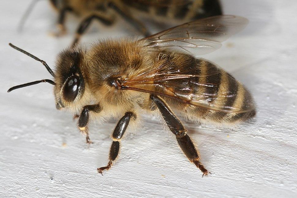 Apis mellifera carnica worker hive entrance 2