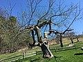 Apple trees at fruitlands, April 2016.jpg