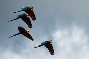 Ara (genus) - Four green-winged macaws flying in Peru