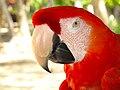 Ara macao -Costa Rica -head-8a.jpg