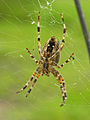 Araneus diadematus - Kreuzspinne von unten.jpg