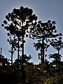 Araucaria Angustifolia - panoramio (4).jpg