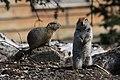 Arctic ground squirrels (df65bd08-12e3-4d47-a522-d3b811dfcf27).jpg