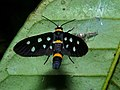 Arctiid Moth (Amata wallacei) (6635795341).jpg