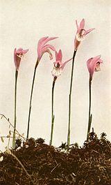 Arethusa bulbosa WFNY-043B.jpg