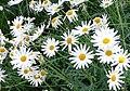 Argyranthemum frutescens cv Vera 2.jpg