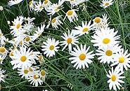 Argyranthemum frutescens cv Vera 2