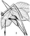 Arisaema triphyllum ssp. pusillum.png