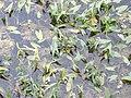 Arrowhead, Sagittaria sagittifolia - geograph.org.uk - 514980.jpg