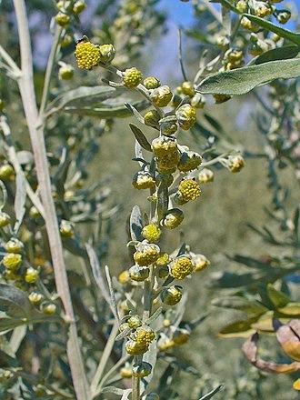 Artemisia absinthium -  Artemisia absinthium. Inflorescences