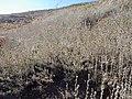 Artemisia arbuscula (9579118678).jpg