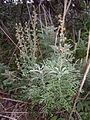 Artemisia pontica sl8.jpg