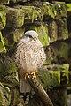 Artis Resting Common Kestrel (6953967843).jpg