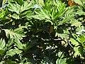 Artocarpus altilis-3-polonnaruwa-Sri Lanka.jpg