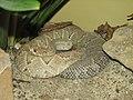 Aruba Island Rattlesnake Image 005.jpg