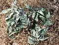 Asclepias nyctaginifolia.jpg