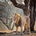 Asiatic Male Lion in Gir Forest National Park.jpg