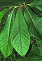 Asimina triloba (pawpaw tree) 4 (38773719054).jpg