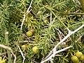 Asparagus umbellatus (La Fajana) 03 ies.jpg