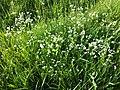 Asperula tinctoria sl2.jpg