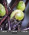 Asplenium trichomanes subsp. quadrivalens sl19.jpg