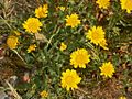 Asteraceae - Coleostephus myconis.JPG