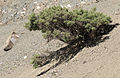 Astragalus - Geven 01.jpg