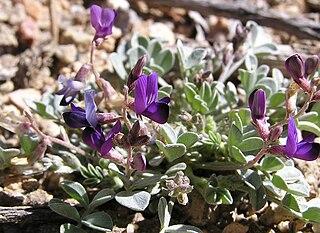 <i>Astragalus albens</i> species of plant