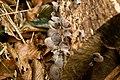 Auricularia polytricha 01.jpg