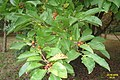 Autumn berries (WGP) (32892490041).jpg